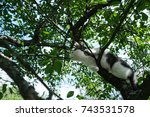 Stock photo young black and white cat sitting on a cherry tree ready to jump bottom view 743531578