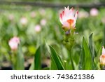 siam tulips blooming in the... | Shutterstock . vector #743621386