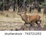 Red Deer Stag In Rutting Seaso...