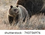a curious young grizzly bear... | Shutterstock . vector #743736976