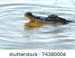 American Alligator Bayou Swamp