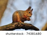The Red Squirrel Eats A Nut.