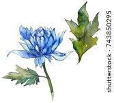 wildflower chrysanthemum flower ... | Shutterstock . vector #743850295