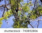 Small photo of Knobbed hornbill, Aceros cassidix, fed walled female on the nest at a height of approximately 25 m. Tangkoko N.P Park, Sulawesi