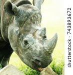 rhino eating close up shot | Shutterstock . vector #743893672