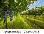 grape harvest | Shutterstock . vector #743902915
