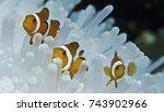 Clown Fish And Anemone  Komodo...