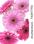 gerbera flowers isolated on... | Shutterstock . vector #74397793