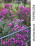 Small photo of purple Michaelmas daisies behind a fence, abundance