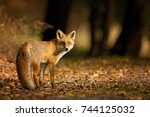 red fox. the species has a long ... | Shutterstock . vector #744125032