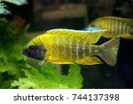 The Yellow Peacock Cichlid In...