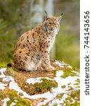The Medium Sized Eurasian Lynx...