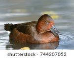The Ferruginous Duck  Also...