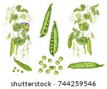 Illustration Of Pea Plant With...