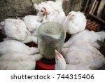 domestic white chicken drink... | Shutterstock . vector #744315406