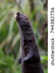 Small photo of This is an american mink stood up in the rain.