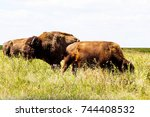 Two Cows And One Bull Bison In...