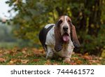Small photo of Basset Hound Dog on the autumn grass. Portrait.
