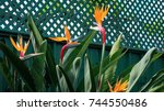 bird of paradise flowers  or...   Shutterstock . vector #744550486