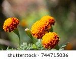 marigold | Shutterstock . vector #744715036