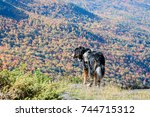 Small photo of Hiking with Bernese Mountain Dog in the Adirondacks
