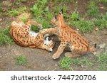 euroasian lynx cubs in the...   Shutterstock . vector #744720706