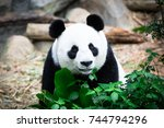 cute giant panda with tree. ... | Shutterstock . vector #744794296