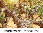 olive trees garden in mild...   Shutterstock . vector #744801892
