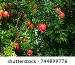 Pomegranate Ripens On A Branch...