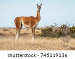 a wild guanaco   front view  in ... | Shutterstock . vector #745119136
