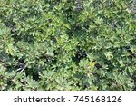 fig tree close up with branches ... | Shutterstock . vector #745168126