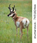Closeup Of A Male Pronghorn...