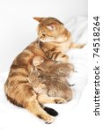 Stock photo small british shorthair kittens with mother 74518264