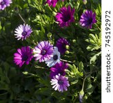 A Small Clump Of Deep Pink And...