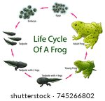 life cycle of frog | Shutterstock . vector #745266802