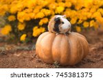 funny guinea pig sitting on... | Shutterstock . vector #745381375