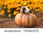 funny guinea pig sitting on... | Shutterstock . vector #745381375