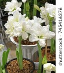 Small photo of Group of White Amaryllis Alfresco Flower In a Flowerpot