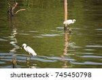 Great White Egret Wading Slowly ...