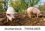 free range pigs digging food in ...   Shutterstock . vector #745461805