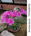Small photo of Alpine lewisia flowers growing in a hothouse