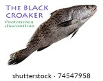 Black Croaker   Protonibea...