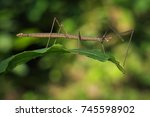 image of a siam giant stick... | Shutterstock . vector #745598902