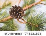 pine cone on pine tree...   Shutterstock . vector #745631836