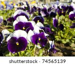 First Violet Pansy Flowers At...