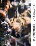 Small photo of Several Shrimpfishes or razorfishes. Aeoliscus strigatus.