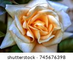 rose   Shutterstock . vector #745676398