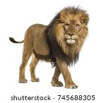 Stock photo side view of a lion walking looking at the camera panthera leo years old isolated on white 745688305