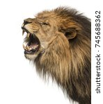 Stock photo close up of a lion roaring profile panthera leo years old isolated on white 745688362