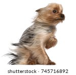yorkshire terrier with hair in... | Shutterstock . vector #745716892